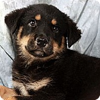 Adopt A Pet :: Lizzie Shepherdnees - St. Louis, MO