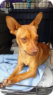 Chihuahua/Dachshund Mix Dog for adoption in Phelan, California - Fievel