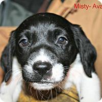 Adopt A Pet :: Misty - Poughkeepsie, NY