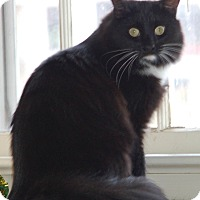 Domestic Longhair Cat for adoption in Fairfax, Virginia - Billie