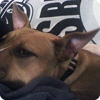 Adopt A Pet :: Angel - New Kensington, PA