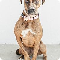 Adopt A Pet :: Biscotti - Santa Monica, CA
