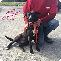 Labrador Retriever Mix Dog for adoption in Fayetteville, West Virginia - Clara Bell