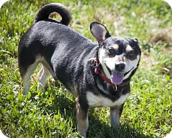 Chihuahua Mix Dog for adoption in Bedford, Indiana - Peewee