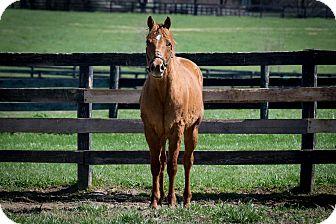 Quarterhorse Mix for adoption in Nicholasville, Kentucky - Elvis