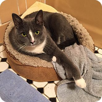 Domestic Shorthair Cat for adoption in Brooklyn, New York - Woolfie
