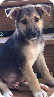 Shepherd (Unknown Type) Mix Puppy for adoption in Holly Springs, North Carolina - Malcolm