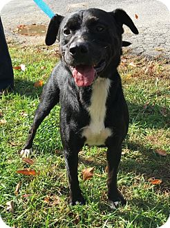Pit Bull Terrier Mix Dog for adoption in Fayetteville, West Virginia - Willy