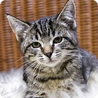 Adopt A Pet :: Stripes - St. Louis Park, MN