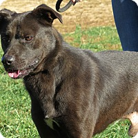 Labrador Retriever/German Shepherd Dog Mix Dog for adoption in Unionville, Pennsylvania - Clark