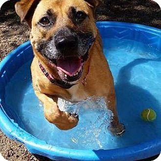 Labrador Retriever/German Shepherd Dog Mix Dog for adoption in Decatur, Georgia - DAYDREAM