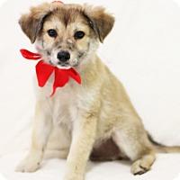 Australian Shepherd/Terrier (Unknown Type, Medium) Mix Puppy for adoption in Dalton, Georgia - Brady
