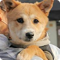Adopt A Pet :: Venus - Smithtown, NY