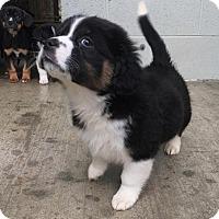 Adopt A Pet :: Barker - Allentown, PA