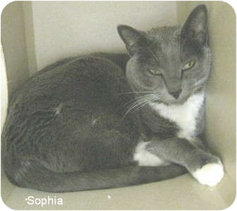 Domestic Shorthair Cat for adoption in Mesa, Arizona - Sophia
