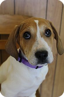 Beagle/Labrador Retriever Mix Puppy for adoption in Hamburg, Pennsylvania - Scamp