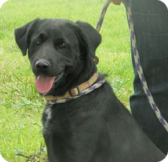 Labrador Retriever Dog for adoption in Turlock, California - Bailey