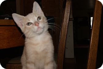 Domestic Shorthair Kitten for adoption in Trevose, Pennsylvania - Buffet