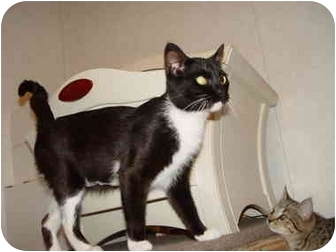 Domestic Shorthair Cat for adoption in KANSAS, Missouri - April