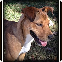 Adopt A Pet :: Marley - Indian Trail, NC