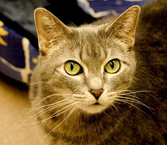 Domestic Shorthair Cat for adoption in Lima, Ohio - Frog