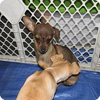Adopt A Pet :: Felicity - Rocky Mount, NC
