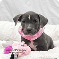 Adopt A Pet :: Diamond - Frisco, TX