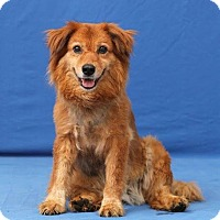 Adopt A Pet :: Dolly - Pacific, MO