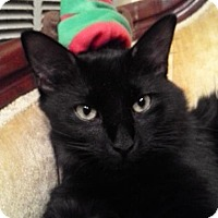 Domestic Shorthair Kitten for adoption in Austin, Texas - Henri