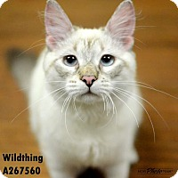 Adopt A Pet :: WILDTHING - Conroe, TX