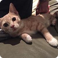 Adopt A Pet :: Lolli - Merrifield, VA