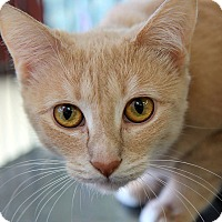 Adopt A Pet :: ABBY - THORNHILL, ON