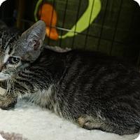 Bengal Kitten for adoption in Pleasanton, California - Piglet
