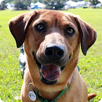 Labrador Retriever/Basset Hound Mix Dog for adoption in Youngsville, North Carolina - Mama Dixie