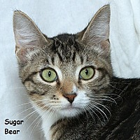 Adopt A Pet :: Sugar Bear B - Sacramento, CA