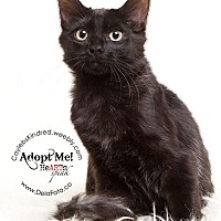 Adopt A Pet :: Maybelline - Denver, CO