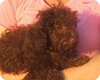 Poodle (Miniature) Puppy for adoption in Westport, Connecticut - Lyza