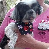 Shih Tzu Dog for adoption in House Springs, Missouri - Miranda