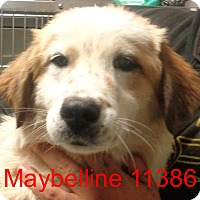Adopt A Pet :: Maybelline - baltimore, MD