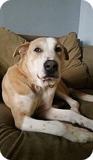 Shepherd (Unknown Type)/Labrador Retriever Mix Dog for adoption in Milwaukee, Wisconsin - Jacob