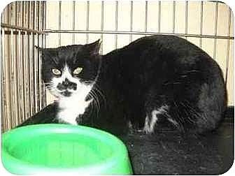 Domestic Shorthair Cat for adoption in Iroquois, Illinois - Eloise