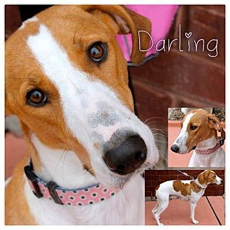 Ibizan Hound/English (Redtick) Coonhound Mix Dog for adoption in Garden City, Michigan - Darling