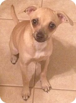 Chihuahua Mix Dog for adoption in Gainesville, Florida - Glower
