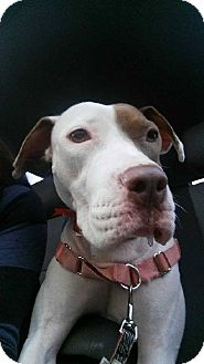 American Staffordshire Terrier Mix Dog for adoption in Phoenix, Arizona - Sadie