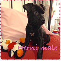 Adopt A Pet :: Herni - Lewisville, IN