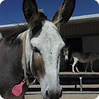 Adopt A Pet :: Elsa - Bennett, CO