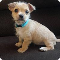 Adopt A Pet :: Tiny Cooper - Las Vegas, NV