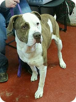 Pit Bull Terrier Mix Dog for adoption in Florence, Indiana - Hurk