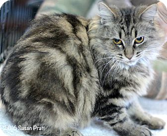 Domestic Longhair Cat for adoption in Bedford, Virginia - Amita