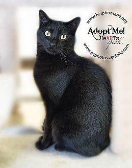 Domestic Shorthair Cat for adoption in Belton, Missouri - Ajay
